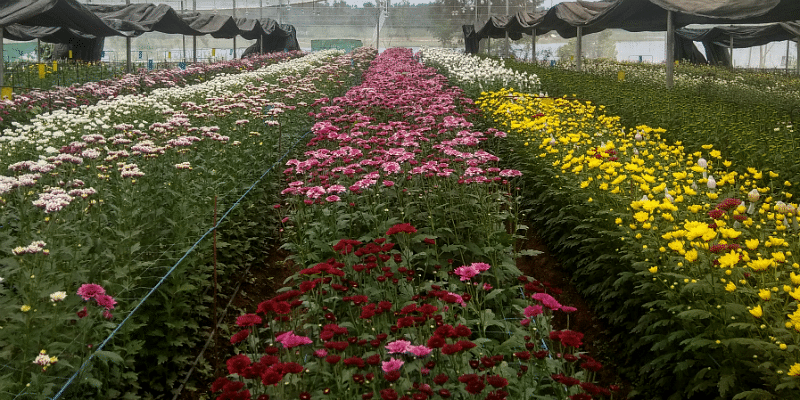 Inside one of the chrysanthemum greenhouses