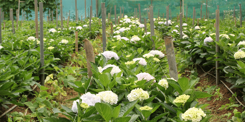 The Hydrangea greenhouse