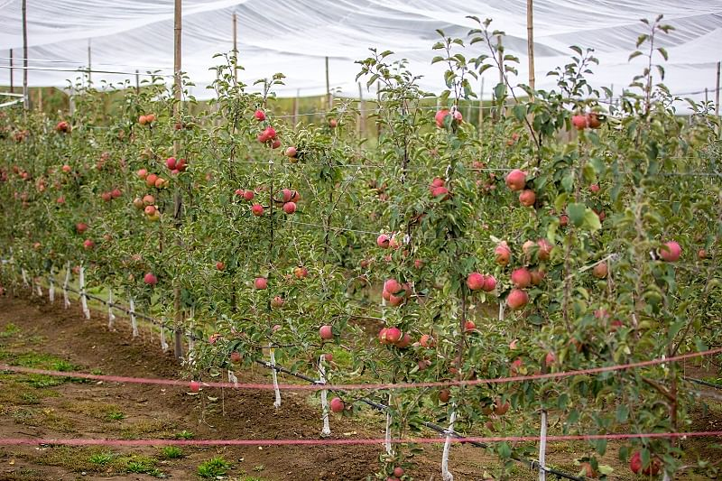 A high-yielding apple orchard