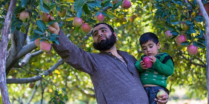 A farmer plucking apples from his harvest