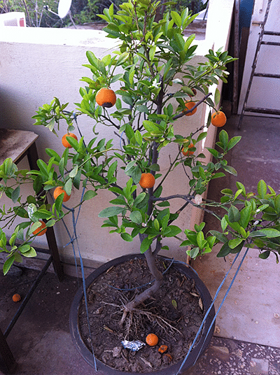 An orange tree bonsai grown by Usha Dave on her terrace in Indore.