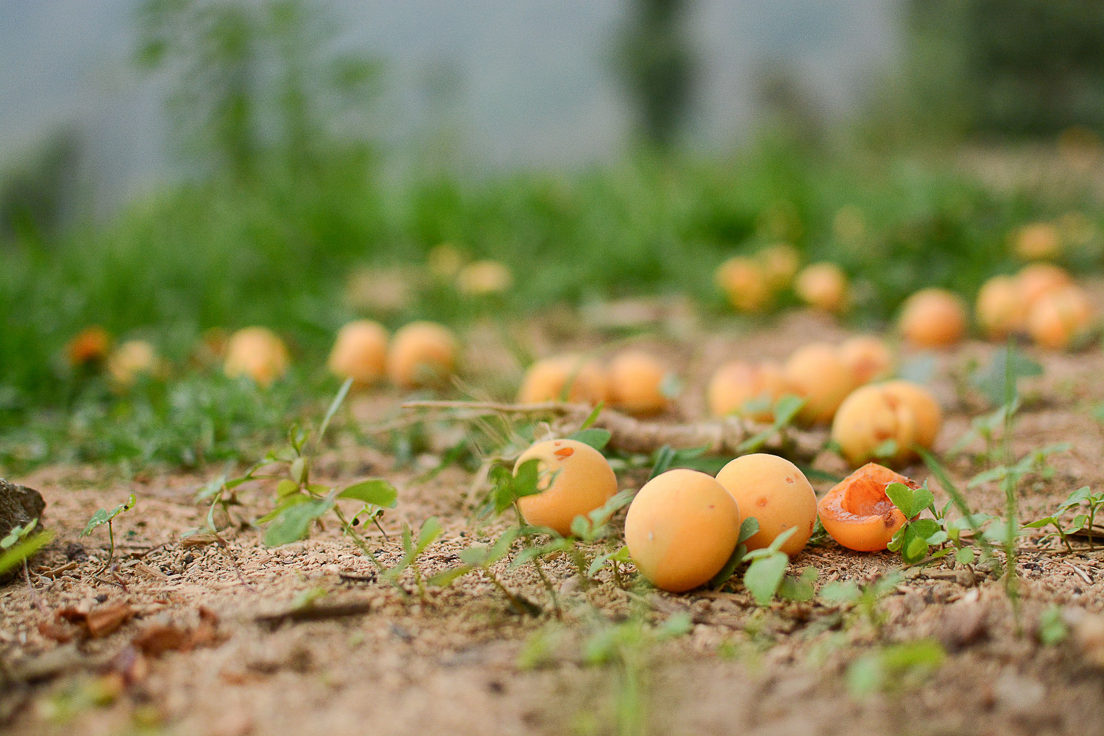Ripe Apricots under the tree at the homestay