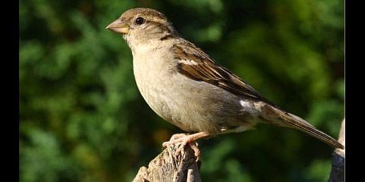 The common garden sparrow