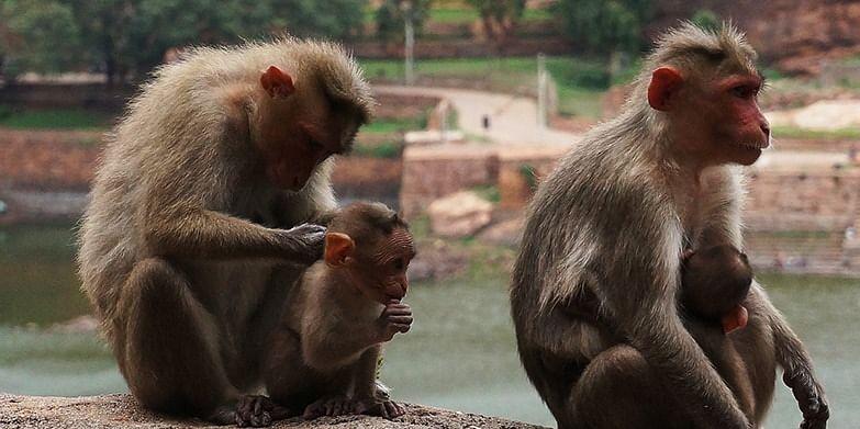 Photo #2: Monkey love in Badami.