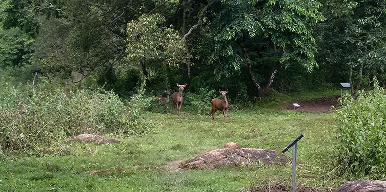 Figure 5 The sambars stopping to say hello in the Periyar Tiger Reserve