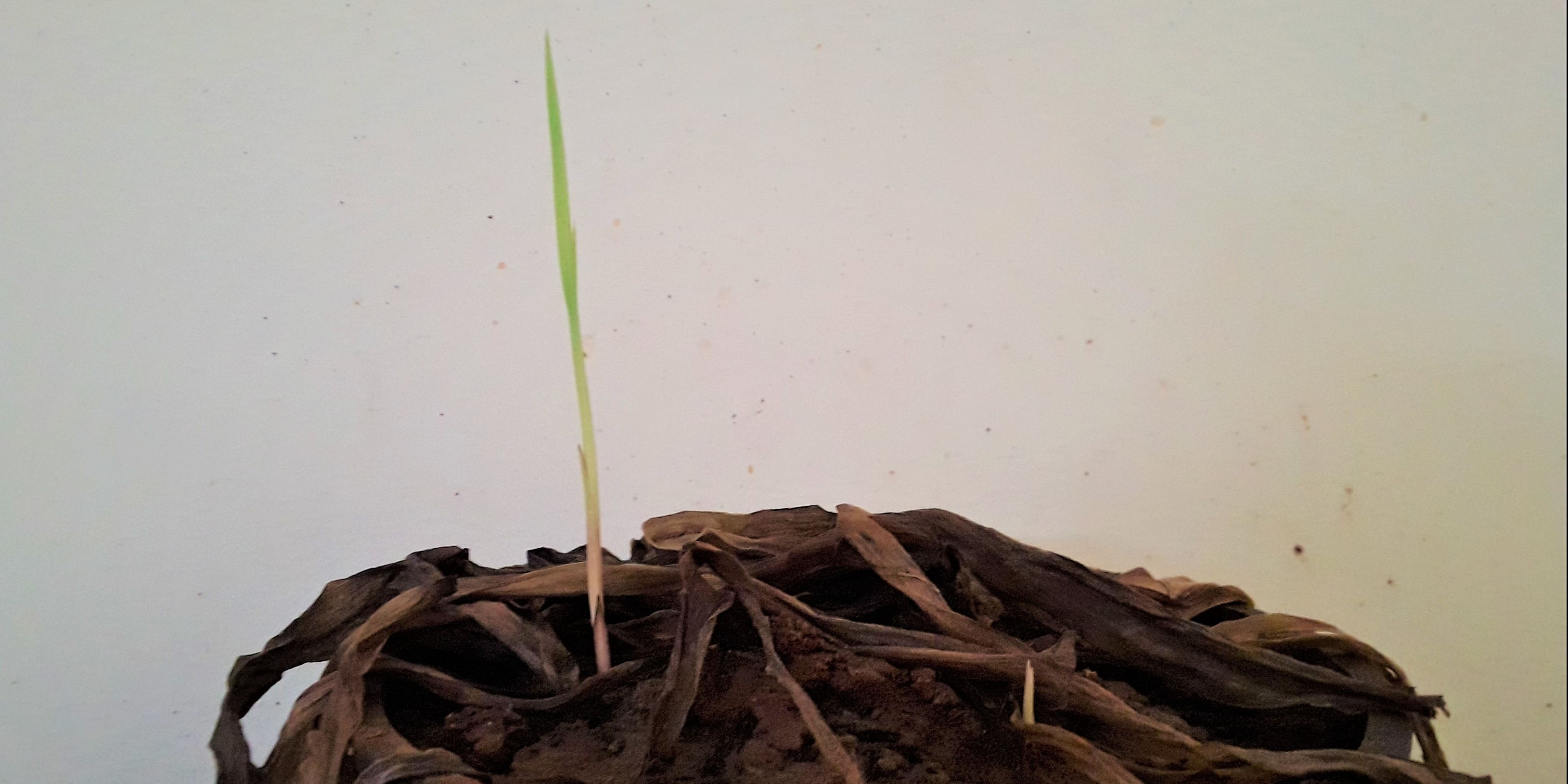 Reviving a dead spider plant - new shoots growing from strong roots. I believe in never giving up.